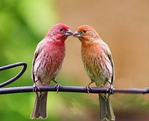 ציפורים זוגיות